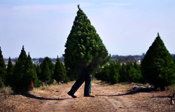 Fabio Iuele busy at work at North Pole Christmas Tree Farm as Christmas draws nearer Photograph By Craig Sillitoe/The Sunday Age
