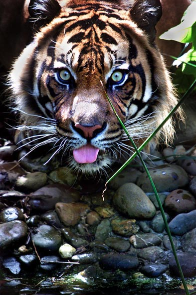 Ramalon the Sumatran tiger drinking at the Melbourne Zoo. Photograph By Craig Sillitoe/The Sunday Age