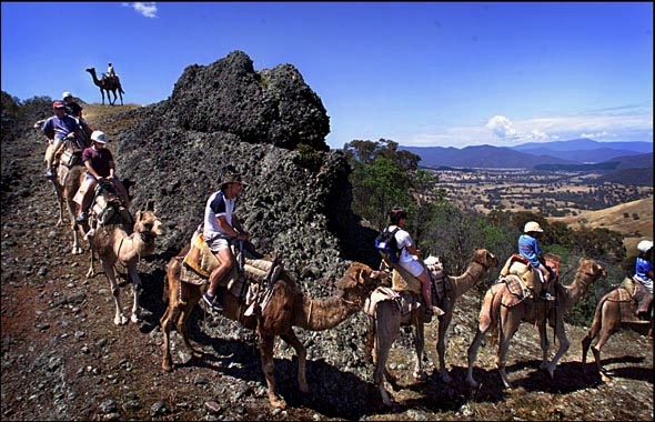 Victoria in the holiday season. Holiday makers near Mansfield experience camel rides in the high country. Photograph By Craig Sillitoe/The Sunday Age