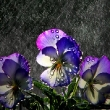 Moonlight Bay Pansy, soaking up moisture at Acorn Nursery in Surrey Hills   Photograph By Craig Sillitoe/The Sunday Age